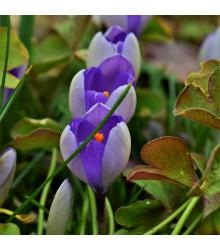 Krókus Yalta - Crocus sativus - cibuľoviny - 3 ks
