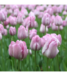Tulipán Candy Prince - Tulipa - cibuľoviny - 3 ks