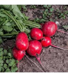 BIO Reďkovka červená Sora - Raphanus sativus - bio semienka - 40 ks