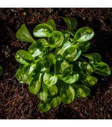 BIO Valeriánka poľná Vít - Valerianella locusta - bio semienka - 100 ks