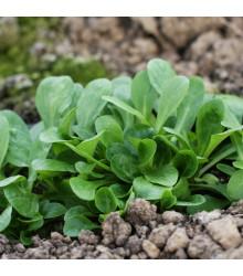 BIO Valeriánka poľná Verte de Cambrai - Vallerianella locusta - bio semienka - 150 ks