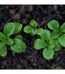 BIO Valeriánka poľná Elan - Vallerianella locusta - bio semienka - 100 ks