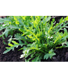 BIO rukola Ruca - Eruca sativa - bio semienka - 100 ks