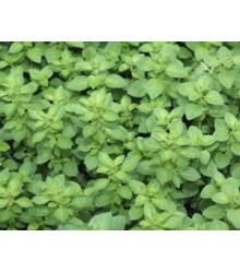 Pamajorán obyčajný - Oregáno Paula - Origanum vulgare - semienka - 150 ks