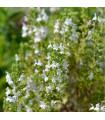 Saturejka horská Bolero - Satureja montana - semienka - 0,3 g