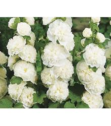 Topoľovka plnokvetá biela Chaters - Alcea rosea - semienka - 12 ks
