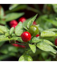 Chilli Tepin - Capsicum annuum - Semená chilli - papričky - 7 ks