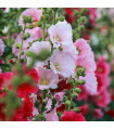 Topoľovka plnokvetá Chaters mix farieb - Alcea rosea - semienka - 12 ks