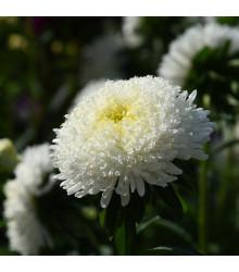 Astra čínska vysoká Princess biela - Callistephus chinensis - semienka - 50 ks