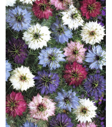 Černuška damašská - Nigella damascena - semiačka - 25 Ks - zmes farieb