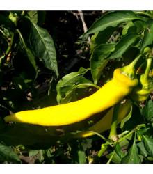 Kajenské korenie zlaté - Semená chilli - Capsicum annuum - 6 ks