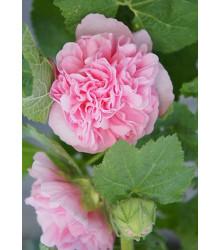 Topoľovka ružová Chaters - Alcea rosea - semená topoľovky - 7 ks