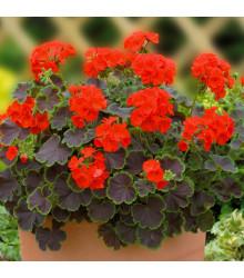 Muškát pásikavý Nekita F1 Scarlet - Pelargonium zonale - semienka - 4 ks