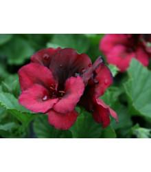 Muškát pásikavý F1 Black Velvet Violet - Pelargonium zonale - semienka - 6 ks