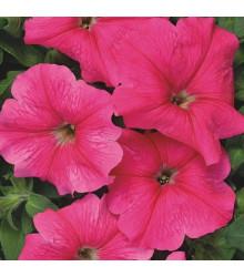 Petúnia mnohokvetá Rita F1 - Petunia hybrida - semienka - 30 ks