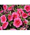 Petúnia mnohokvetá Claudia F1 - Petunia hybrida - semienka - 30 ks