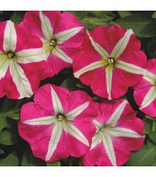 More about Petúnia mnohokvetá Belinda F1 - Petunia hybrida - semienka - 30 ks