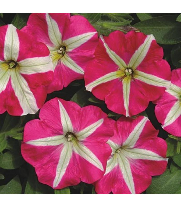 Petúnia mnohokvetá Belinda F1 - Petunia hybrida - semienka - 30 ks