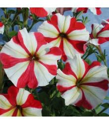 Petúnia mnohokvetá Henrietta F1 - Petunia hybrida - semienka - 30 ks
