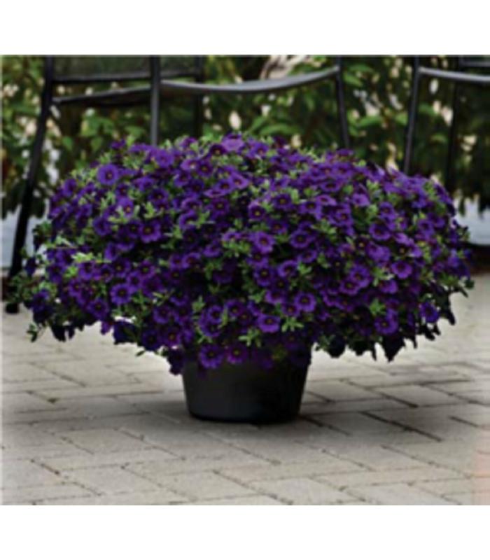 Minipetúnia Kabloom Blue F1 - Calibrachoa hybrida - Milionbells - semienka - 7 ks