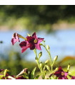 Tabak okrasný voňajúci Deep purple F1 - Nicotiana - semienka - 50 ks