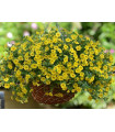 Minipetúnia Kabloom Yellow F1 - Calibrachoa hybrida - Milionbells - semienka - 7 ks
