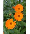 Nechtík lekársky Orange Daisy - Calendula officinalis - semienka - 60 ks