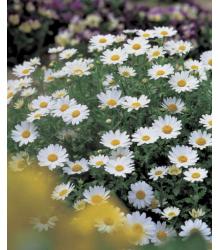 Margaréta balkónová Snowland - Chrysanthemum paludosum - semienka - 50 ks