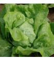 Šalát hlávkový Armur - Lactusa sativa - semienka - 500 ks