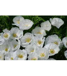 More about Mak Bridal Silk - Papaver rhoeas - semienka - 150 ks