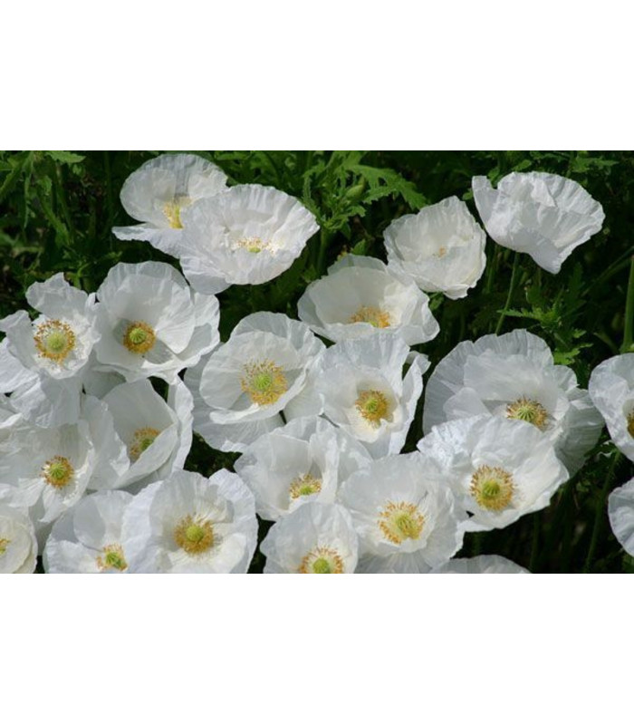 Mak Bridal Silk - Papaver rhoeas - semienka - 150 ks