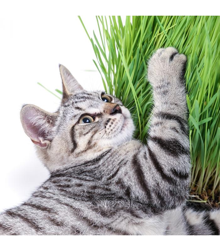 Tráva pre mačky - semiačka - 100 ks