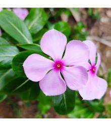 More about Katarant Lavender F1 - Catharanthus - semienka - 30 ks