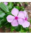 Katarant Lavender F1 - Catharanthus - semienka - 30 ks
