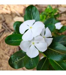Katarant White F1 - Catharanthus - semienka - 30 ks