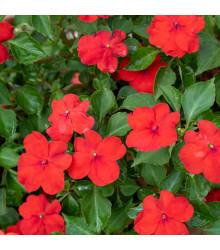 Katarant Red F1 - Catharanthus - semienka - 30 ks