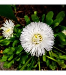 More about Astra čínska biela Gaia - Callistephus chinensis - semienka - 150 ks