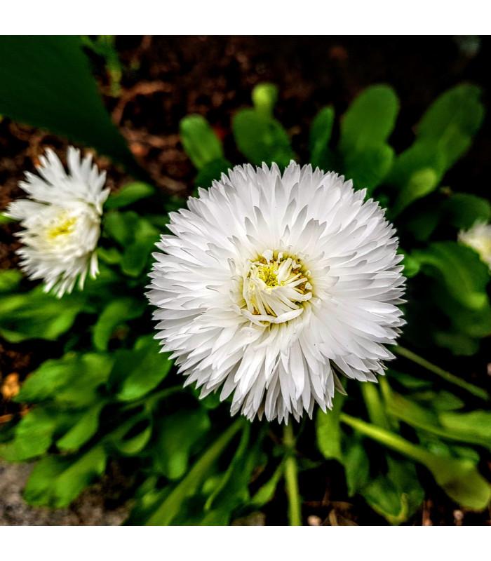 Astra čínska biela Gaia - Callistephus chinensis - semienka - 150 ks