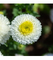 Astra čínska Gracia - Callistephus chinensis - semienka - 150 ks