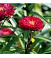 Astra čínska červená Gilda - Callistephus chinensis - semienka - 150 ks