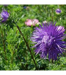 Astra čínska ihlicovitá fialová Denisa - Callistephus chinensis - semienka - 150 ks