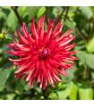 Astra čínska ihlicovitá červená - Callistephus chinensis - semienka - 150 ks