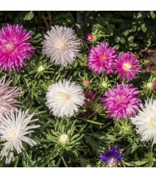 Astra čínska ihlicovitá zmes - Callistephus chinensis - semienka - 150 ks