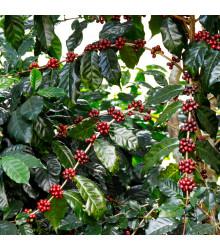 More about Kávovník arabský Himalaya - Coffea arabica Himalaya - semienka - 5 ks