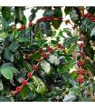 Kávovník arabský Himalaya - Coffea arabica Himalaya - semienka - 5 ks