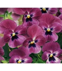 Fialka rohatá Sorbet Carmine - Viola cornuta - semienka - 20 ks