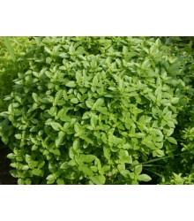 Bazalka Fino verde - bazalka do omáčok -semiačka - 50 ks