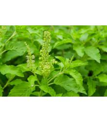 Bazalka indická Tulsi - Ocimum tenuiflorum - semiačka - 50 ks