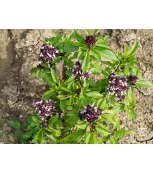 Bazalka thajská - bazalka exotická - Ocimum basilicum thai - semiačka - 50 ks