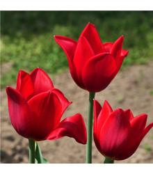 Tulipán Kingsblood - Cibuľky - 3 ks